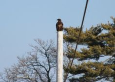 A juvenile eagle waiting his turn for breakfast this morning. Photo submitted by Lorraine Jenkins