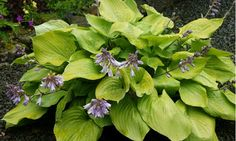 HOSTA ''Sum and Substance''