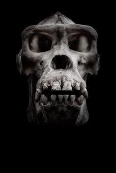 Gorilla Skull by Krzysztof Hanusiak on 500px