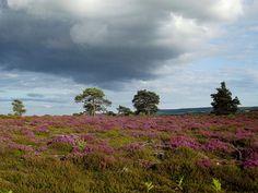 Coombe Heath at RSPB Arne near Wareham, Dorset, by Sarfraz Hayat
