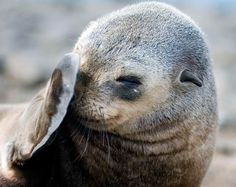 Australian Fur Seal, being a little shy..30 000 Australian fur seals live just off the Nobbies on Phillip Island..