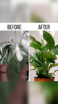 Peace Lily Flower, Peace Lily Care, Room With Plants, House Plants Decor, Plant Decor, Succulent Gardening, Bonsai Garden, Garden Design Ideas On A Budget, Garden Fence Panels