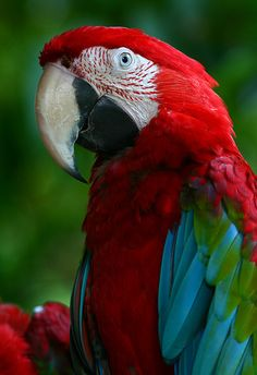 Red and Green Macaw ~ I was told by a bird expert that this is a Catalina Macaw.