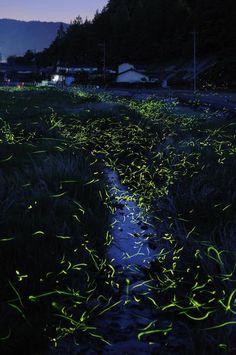 golden fireflies