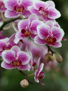 Lovely Little Orchids (phalaenopsis) Exotic Plants, Exotic Flowers, Tropical Flowers, Summer Flowers, Amazing Flowers, Beautiful Roses, Beautiful Flowers, Orquideas Cymbidium, Orchid Show