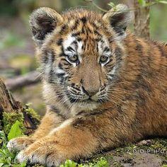 #animal #wild #wildlife #lion #bigcat #tiger #leopard #panther #cheetah #rhino #cat #dog #kitty #kitten #puppy #husky #wolf #elephant #safari #bird #eagle #shark #whale #duck #pet #free #selfie #jaguar #earth #fox