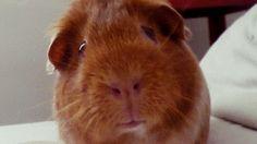 The Daily Guinea Pig
