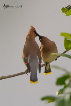 Amor entre pássaros. O cera de cedro (Bombycilla cedrorum) é um membro da família Bombycillidae de aves passeriformes. De tamanho médio, na maior parte marrom, cinzento, e amarelo, com as pontas de asas como cera. É um nativo da América do Norte e Central, com reprodução em áreas arborizadas abertas no sul do Canadá e invernando na metade sul dos USA, América Central, e no extremo noroeste da América do Sul. Sua dieta inclui cones de cedro, frutas e insetos.  Fotografia: Jeff Wendorff.