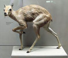 Reconstruction of the extinct genus Micromeryx, a musk deer, middle-upper Miocene of Spain