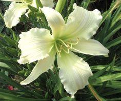 Taglilie   HEAVENLY ANGEL ICE Gossard Daylily Hemerocallis Hemerocalle