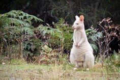 Albino Bennett's Wallaby Photo by Igor Zilberman — National Geographic Your Shot