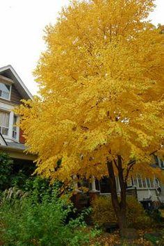 Toronto Gardens: Golden fall foliage: Katsura tree