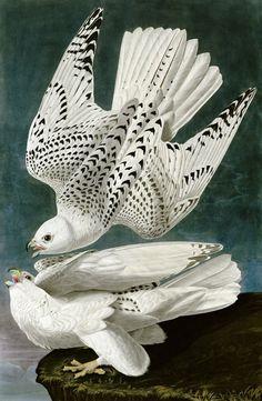 Gyrfalcon  John James Audubon (1785 - 1851)
