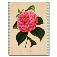 @@@Karri Best price          Vintage Botanical - Camellia Clodia Postcards           Vintage Botanical - Camellia Clodia Postcards online after you search a lot for where to buyThis Deals          Vintage Botanical - Camellia Clodia Postcards Review on the This website by click the button below...Cleck Hot Deals >>> http://www.zazzle.com/vintage_botanical_camellia_clodia_postcards-239447595956567190?rf=238627982471231924&zbar=1&tc=terrest