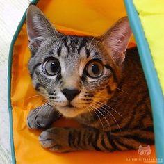"From @nyagomidokoro: ""Mom! Is that my treats!?"" #catsofinstagram"