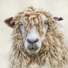 Leicester Longwool Sheep - photograph by Linsey Williams  #animalportrait #sheep #leicestercity via @lin_dies