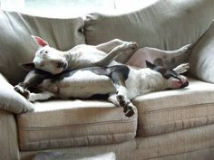 couch time bull terrier
