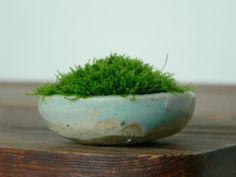 苔との間合いの画像:小豆盆栽100福