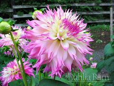 pinelands_princess_dahlia_barn.jpg