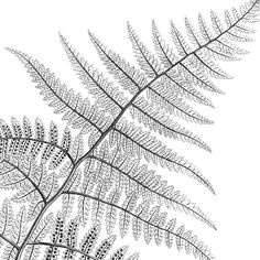 Vintage fern illustration, Set of fern prints, Black and white botanical print, Antique print, Home wall art, Fern decor, Printable fern. ALL FERN PRINTS: https://www.etsy.com/shop/LizasDigitalVintage?search_query=fern ALL BOTANICAL PRINT SETS: https://www.etsy.com/shop/LizasDigitalVintage?section_id=18391787&ref=shopsection_leftnav_2 You will receive 300 dpi resolution 2 JPG images at three different formats: - 2 images at 8x10 in...