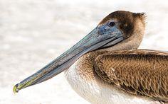 Pelican by Dirk Seifert on 500px