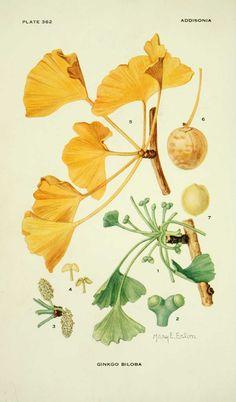 Mary Emily Eaton, Ginkgo biloba (the tree crowns)