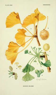 Mary Emily Eaton, Ginkgo biloba (the tree crowns)