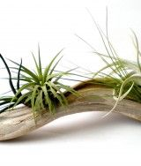 Air Plants on Driftwood