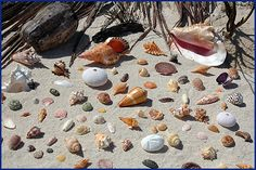 Love all these gorgeous shells collected in the British Virgin Islands.