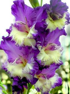 magnifique Iris Jaune et Violet