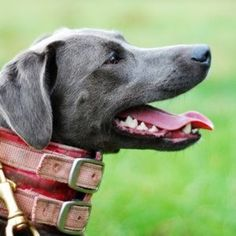 blue lacy dog photo | Profile picture for True Blue Lacys