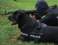 K9 #Rottweiler #dog training with SWAT team. Thanks to ID patches on #Nylon #Dog #Harness his activity can be easily distinguished. $39.90