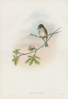 Vintage Gould Bird Prints 1862
