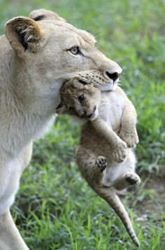 Let Us Look Upon These Lion Cubs And TheirMom