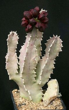 caralluma speciosa No. Growing Succulents, Succulents In Containers, Cacti And Succulents, Planting Succulents, Planting Flowers, Unusual Plants, Rare Plants, Exotic Plants, Cool Plants