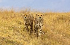 Two cheetah in the Ngorongoro Crater