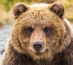 Glacier Cub by Kevin Dietrich Grizzly Bear Tattoos, Grizzly Bears, Baby Panda Bears, Baby Pandas, Tiger Cubs, Tiger Tiger, Bear Cubs, Bengal Tiger, Fluffy Cows