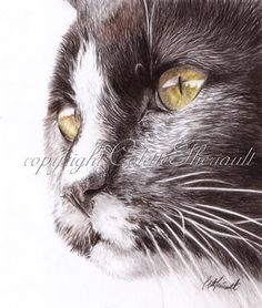 Wildlife Art and Pet Portraits by Canadian Nature & Animal Artist Colette Theriault: Cat drawing-colored pencil on drafting film