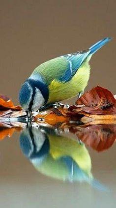 Pássaro bebendo água, refletido na superfície