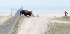 Race spectator lucky after bison 'love tap,' official says