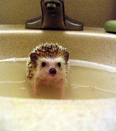 Ce hérisson prend un bain dans le lavabo   Encore quelques minutes à faire trempette