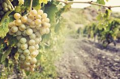 Featured Wine: Traminette ~ Seven Springs Winery at Lake of the Ozarks