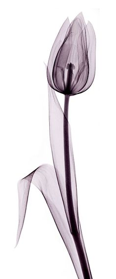 X-ray Tulip would make a cool tattoo