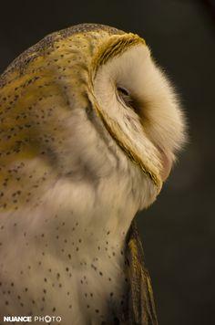 Lechuza de campanario (Tyto alba), Safari Experience, Puebla, Puebla, México.
