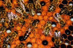 The art of queen breeding is a valuable skill in any apiarist's arsenal - Queen Rearing: A beekeeper's Primer Beekeeping For Beginners, Raising Bees, Backyard Beekeeping, Chamomile Tea, Save The Bees, Urban Farming, Bees Knees, Queen Bees, Bee Keeping