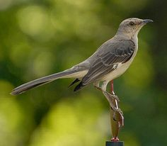 the texas state bird mockingbird kinda looks like mocking jay  mockingbirds are a group of new world passerine birds from the mimidae family they are