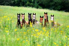 Horses in meadow - by Alma Totoryte #Caballos
