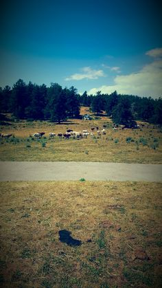 Country club  #vache #montagne