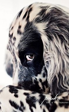 57edd8f143 English Setter….when I was growing up we had a setter named Betty