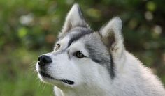 black and white husky dogs